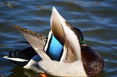 Mallard Duck Blue � Anas platyrhynchos. Male mallard preening it's feathers showing their beautiful colours Royalty Free Stock Images