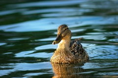 Mallard duck on blue lake. Female mallard duck swimming on blue waters of the lake ( Anas platyrhynchos Stock Photo