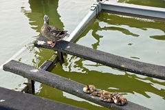 Mallard duck on boat lift with ducklings. Female mallard duck with baby ducklings on a boat lift in a marina Royalty Free Stock Photo