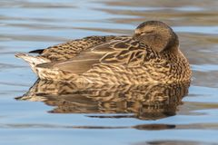 A female mallard duck on Southampton Common royalty free stock photography