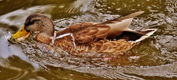 Mallard Duck on Body of Water Stock Image