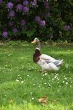 Mallard duck. A brown duck walking on the grass Royalty Free Stock Image