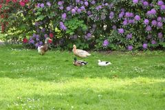 Mallard duck. A brown duck walking on the grass Stock Photo