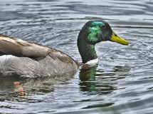 Mallard Duck, California Stock Images
