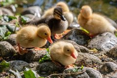 Mallard duck chicks Anas platyrhynchos standing on pebbles. Close up of a newborn Mallard Duck chick Anas platyrhynchos Royalty Free Stock Photography