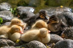Mallard duck chicks Anas platyrhynchos standing on pebbles. Close up of a newborn Mallard Duck chick Anas platyrhynchos Stock Photos