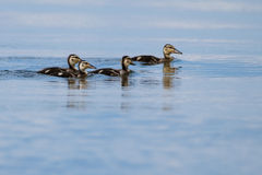 Mallard Duck Chicks on Blue Water. In Danube Delta Royalty Free Stock Image