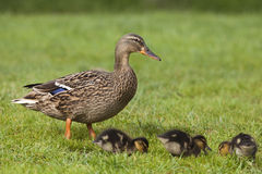 Mallard duck with chicks Royalty Free Stock Photography