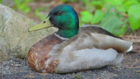 Mallard Duck Chilling Out. A mallard duck chilling out alone Stock Photography