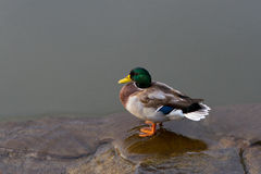 Mallard duck in a clean body. Of water on a sunny day Stock Photography