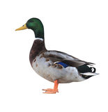 Mallard Duck with Clipping Path Stock Images