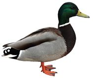 Mallard Duck with clipping path. Colourful mallard duck isolated on white background Royalty Free Stock Image