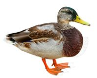 Mallard Duck with clipping path. Colourful wild duck drake isolated on white background stock photos
