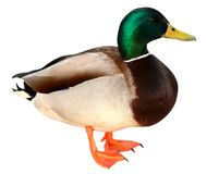 Mallard Duck with clipping path. Colourful wild duck drake isolated on white background stock photography