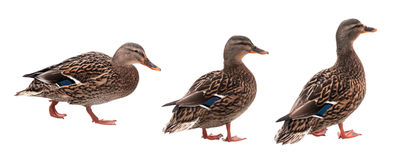 Mallard duck with clipping path isolated on white background. Set of three colorful Mallard ducks with clipping path isolated on white background in different Royalty Free Stock Photos