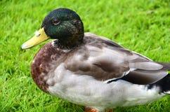 Mallard duck. A close up of a Mallard duck Royalty Free Stock Photos