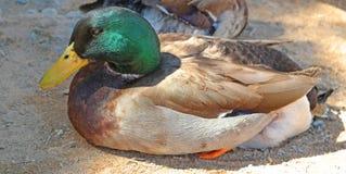 Mallard Duck. A close-up detailed look at a mallard duck resting on a sandy beach Stock Image