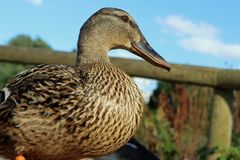 Mallard duck close up stock photography