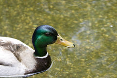 Mallard Duck Close-up. Mallard Duck moving though the water and showing off its colors Royalty Free Stock Image
