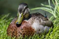 Mallard Duck Close-Up. Over blurred background Stock Photo