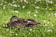 Mallard Duck Close-Up. Over blurred background Royalty Free Stock Image