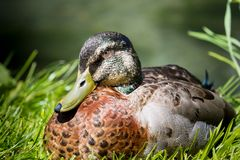 Mallard Duck Close-Up Royalty Free Stock Photos