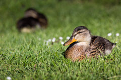 Mallard Duck Close-Up. Over blurred background Stock Photography