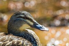 Mallard Duck Close-Up. Over blurred background Royalty Free Stock Photo