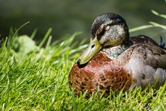 Mallard Duck Close-Up. Over blurred background Royalty Free Stock Photos
