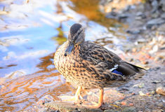 Mallard Duck close up. Single female Mallard Duck close up Stock Images