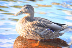 Mallard Duck close up. Single female Mallard Duck close up Stock Image