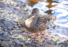 Mallard Duck close up. Single female Mallard Duck in water close up Stock Images