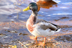 Mallard Duck close up. Single male Mallard Duck close up Stock Photos