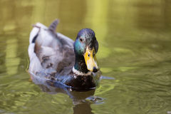 Mallard duck close up in the water.  Royalty Free Stock Photo