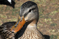 Mallard duck. Close-up of the face of a female Mallard duck sitting on the gound Stock Photos