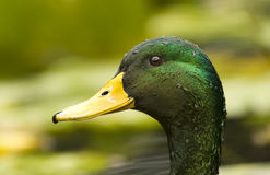 Mallard Duck. Is a closeup of a beautiful  with beads of water clinging to his shiny green feathers Stock Photography