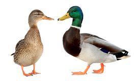 Mallard Duck Closeup Of A Drake, Female Mallard. Isolated On White Background Stock Images