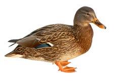 Mallard Duck Closeup Of Drake, Female Mallard. Isolated On White Background Royalty Free Stock Images