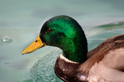 Mallard duck. Closeup shot of a Mallard duck or Anas platyrhynchos, with water droplets on the head Stock Image