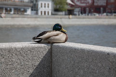 Mallard duck closeup urban background river city Royalty Free Stock Image