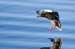 Mallard Duck Coming dentro per un atterraggio sull'acqua blu Fotografia Stock Libera da Diritti