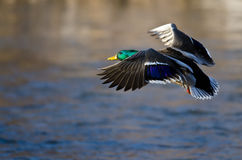 Mallard Duck Coming in for a Landing. Male Mallard Duck Coming in for a Landing Royalty Free Stock Photography