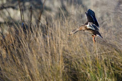 Mallard Duck Coming in for a Landing in the Marsh. Female Mallard Duck Coming in for a Landing in the Marsh Royalty Free Stock Photo