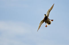 Mallard Duck Coming In for a Landing. N a Blue Sky Stock Photos