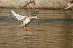 Mallard Duck Coming in for a Landing on the River. Female Mallard Duck Coming in for a Landing on the River Royalty Free Stock Image