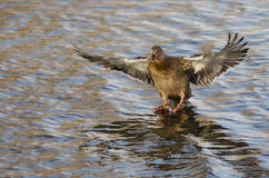 Mallard Duck Coming in for a Landing on the Still Water. Female Mallard Duck Coming in for a Landing on the Still Water Royalty Free Stock Image