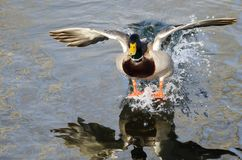 Mallard Duck Coming in for a Landing on the Still Water Stock Photo