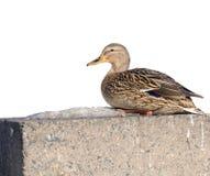 Mallard Duck on Concrete Embankment. A mallard duck in profile sitting on a concrete embankment in winter with copy space Stock Photos