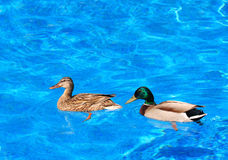 Mallard duck couple. Male and female Mallard ducks in a domestic pool Royalty Free Stock Photography