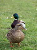 Mallard Duck Couple Stock Image